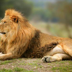 Lion allongé en Afrique du sud