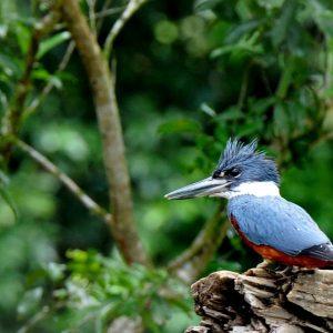 Martin-pêcheur bleu au Panama