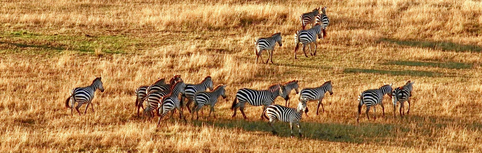 Zebres dans la savane