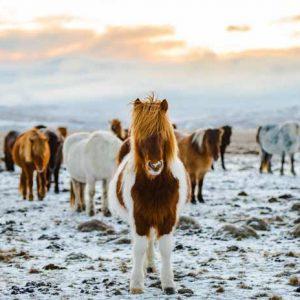 Poneys à poils longs dans une prairie enneigée